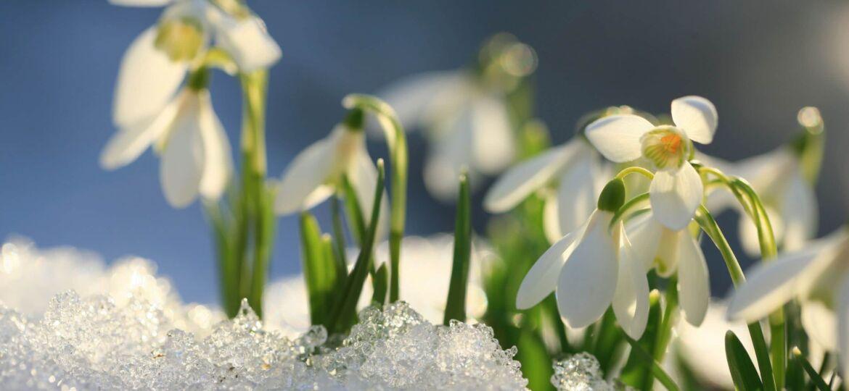 Snowdrops through snow